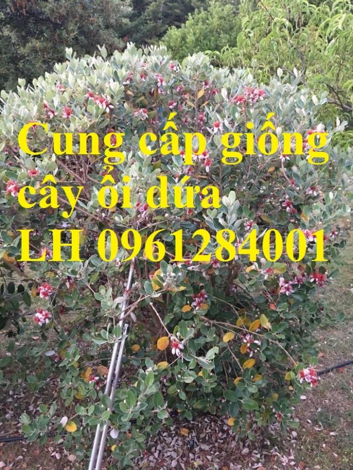 Cung cấp giống cây ổi dứa Australia, cây ổi dứa nhập khẩu uy tín3