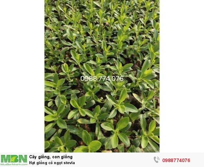 Hạt giống cỏ ngọt stevia1