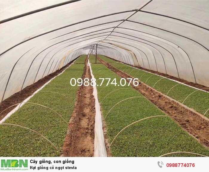 Hạt giống cỏ ngọt stevia2