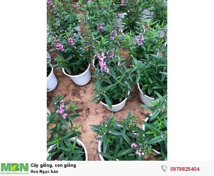 Hoa Ngọc hân2
