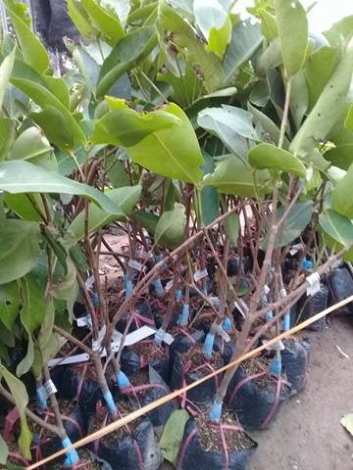 Cây giống roi đỏ Thái Lan, roi đỏ, roi đỏ an phước, số lượng lớn, uy tín, chất lượng1