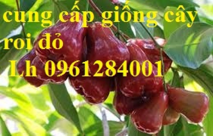 Cây giống roi đỏ Thái Lan, roi đỏ, roi đỏ an phước, số lượng lớn, uy tín, chất lượng12