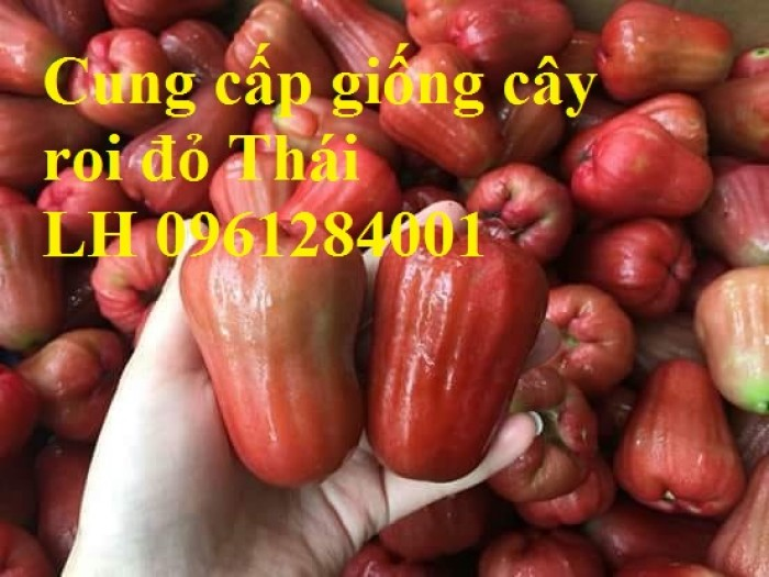 Cây giống roi đỏ Thái Lan, roi đỏ, roi đỏ an phước, số lượng lớn, uy tín, chất lượng9