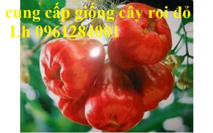 Cây giống roi đỏ Thái Lan, roi đỏ, roi đỏ an phước, số lượng lớn, uy tín, chất lượng11