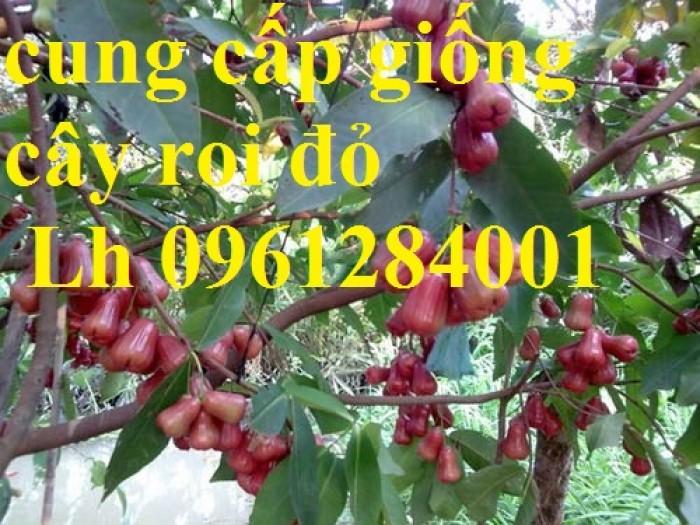 Cây giống roi đỏ Thái Lan, roi đỏ, roi đỏ an phước, số lượng lớn, uy tín, chất lượng4
