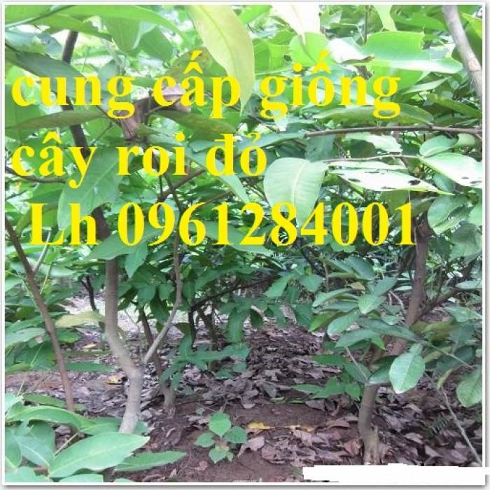 Cây giống roi đỏ Thái Lan, roi đỏ, roi đỏ an phước, số lượng lớn, uy tín, chất lượng7