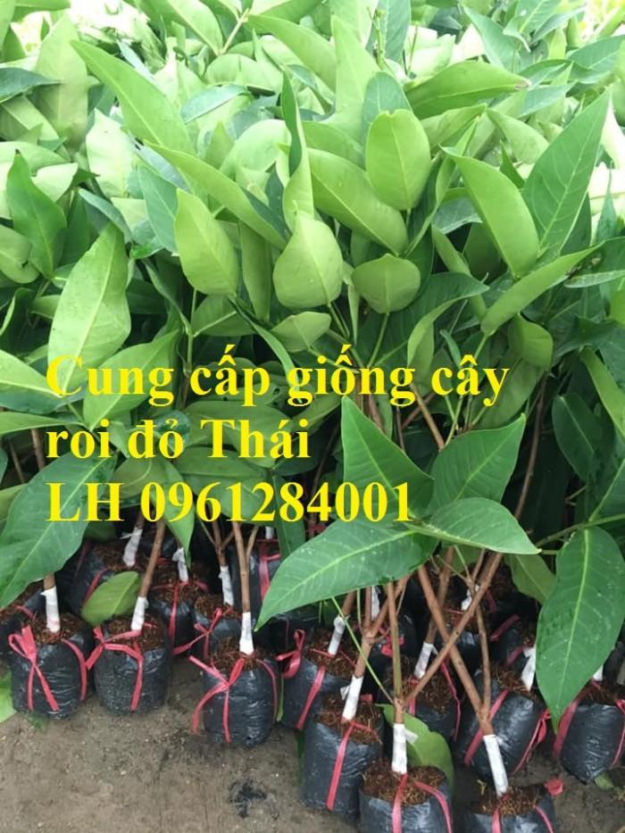 Cây giống roi đỏ Thái Lan, roi đỏ, roi đỏ an phước, số lượng lớn, uy tín, chất lượng0