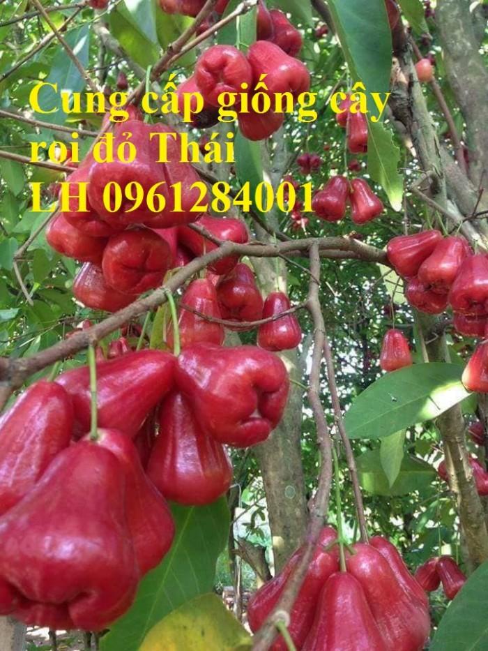 Cây giống roi đỏ Thái Lan, roi đỏ, roi đỏ an phước, số lượng lớn, uy tín, chất lượng2