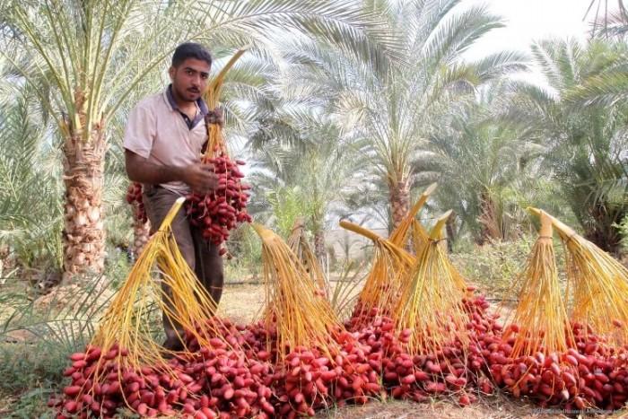 Cây chà là Thái Lan, cây chà là, cây giống F1, giao hàng toàn quốc, uy tín, chất lượng18