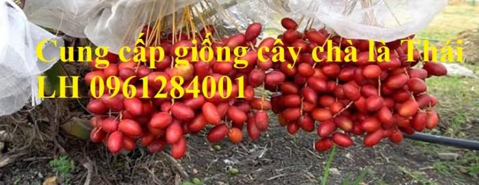 Cây chà là Thái Lan, cây chà là, cây giống F1, giao hàng toàn quốc, uy tín, chất lượng17