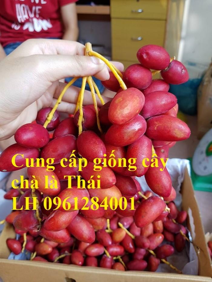 Cây chà là Thái Lan, cây chà là, cây giống F1, giao hàng toàn quốc, uy tín, chất lượng12