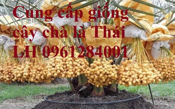 Cây chà là Thái Lan, cây chà là, cây giống F1, giao hàng toàn quốc, uy tín, chất lượng8