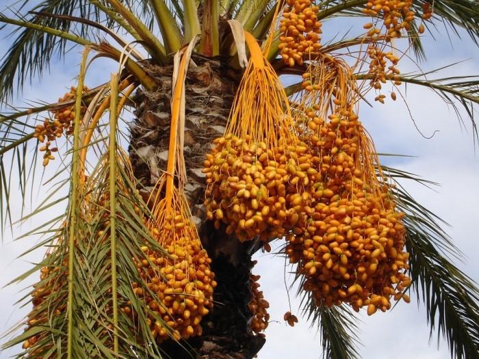 Cây chà là Thái Lan, cây chà là, cây giống F1, giao hàng toàn quốc, uy tín, chất lượng6
