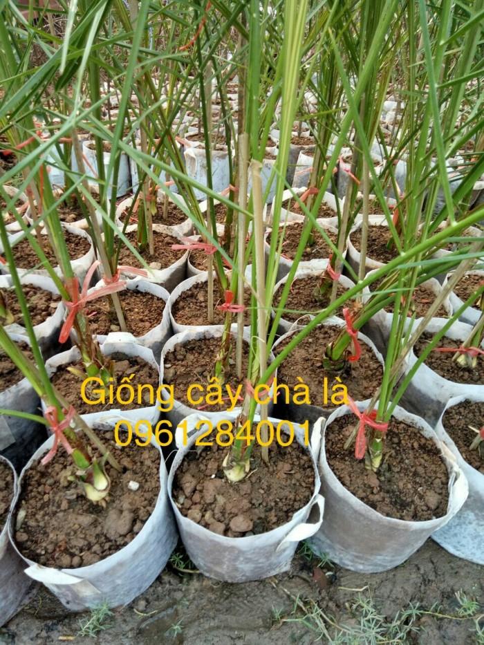 Cây chà là Thái Lan, cây chà là, cây giống F1, giao hàng toàn quốc, uy tín, chất lượng3