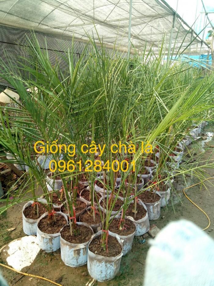 Cây chà là Thái Lan, cây chà là, cây giống F1, giao hàng toàn quốc, uy tín, chất lượng2