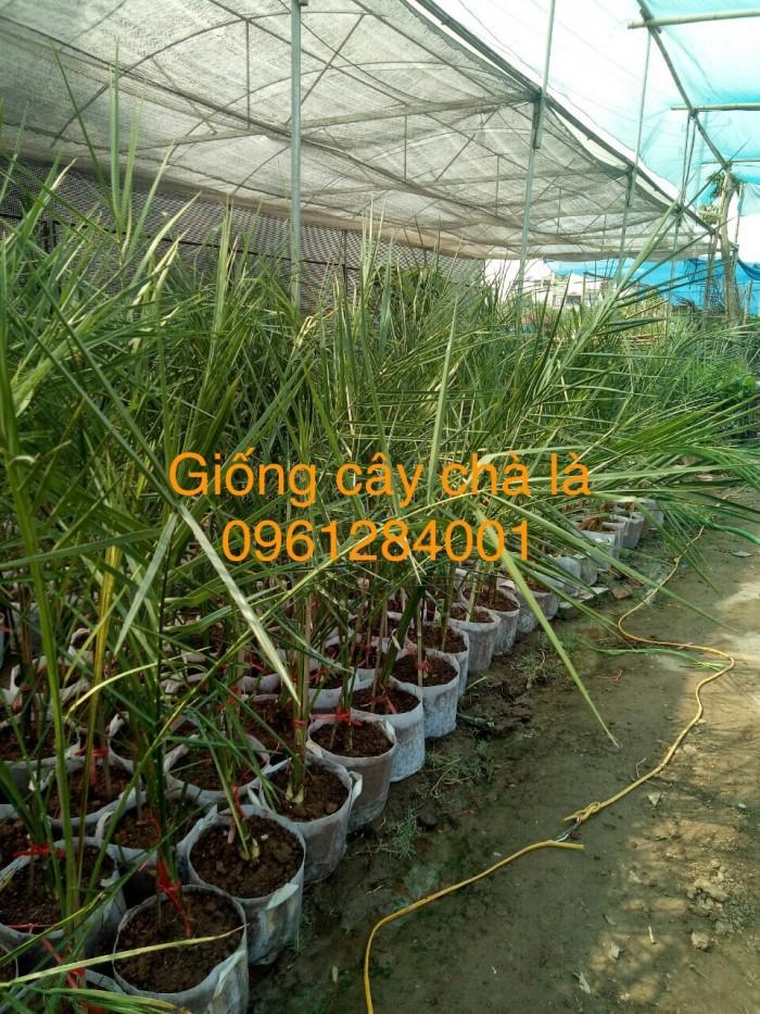 Cây chà là Thái Lan, cây chà là, cây giống F1, giao hàng toàn quốc, uy tín, chất lượng0
