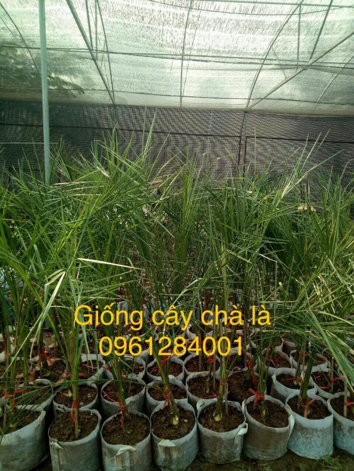 Cây chà là Thái Lan, cây chà là, cây giống F1, giao hàng toàn quốc, uy tín, chất lượng1
