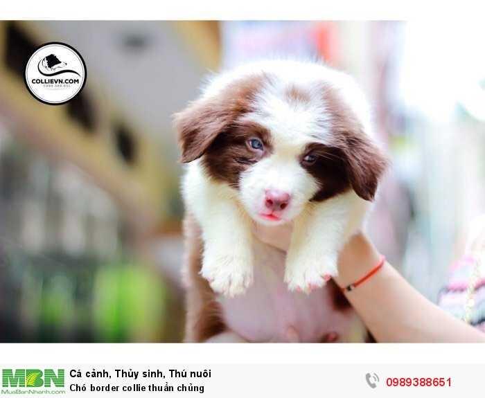 Chó border collie thuần chủng0