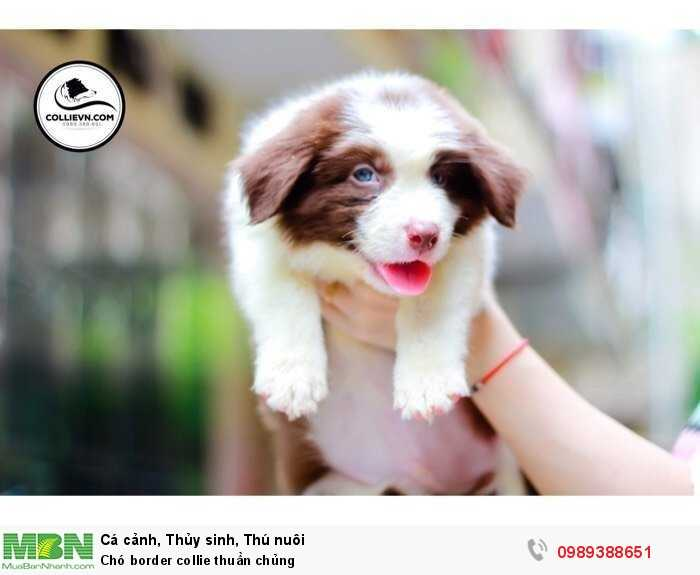 Chó border collie thuần chủng1