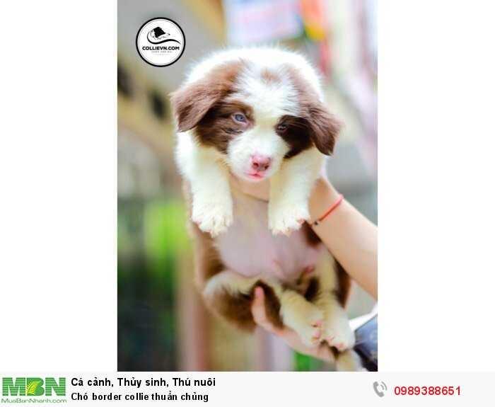 Chó border collie thuần chủng2
