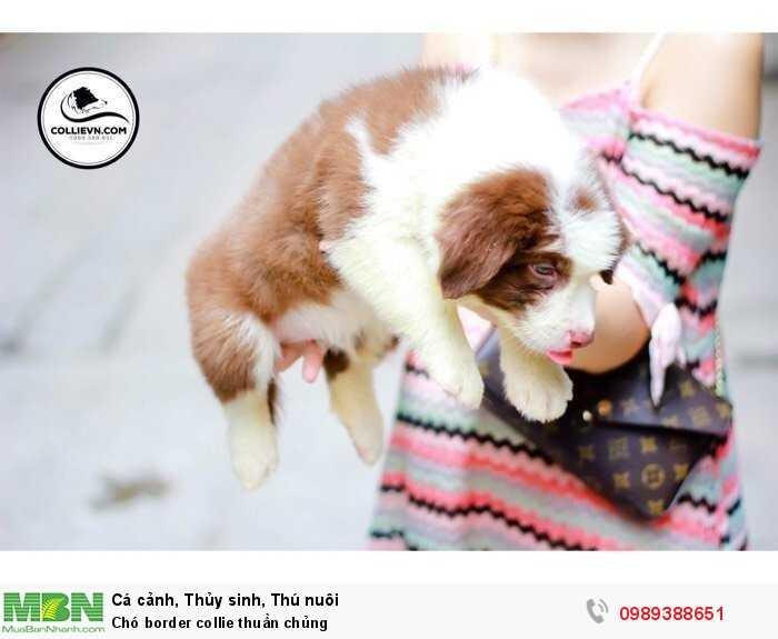 Chó border collie thuần chủng3