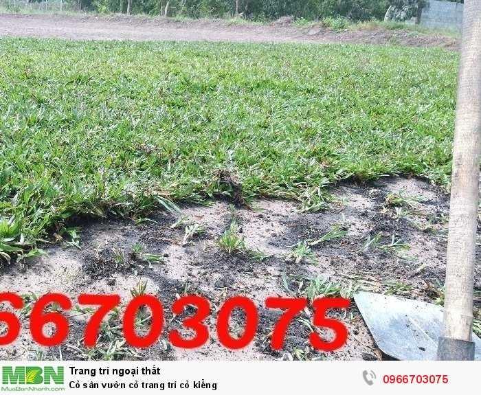 Cỏ sân vườn cỏ trang trí cỏ kiểng4