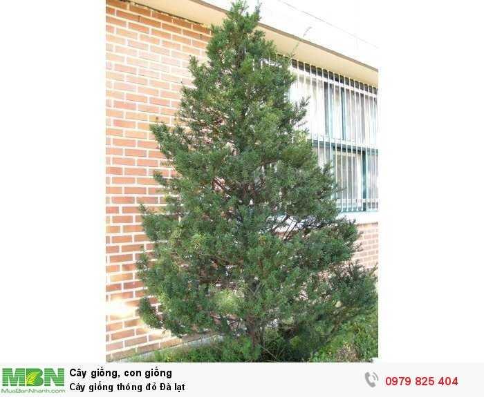 Cây giống thông đỏ Đà lạt0