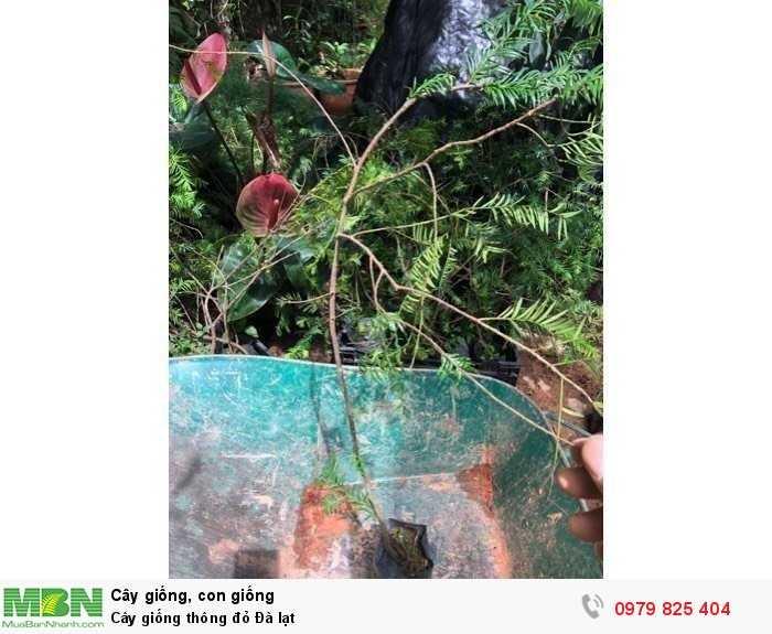 Cây giống thông đỏ Đà lạt4