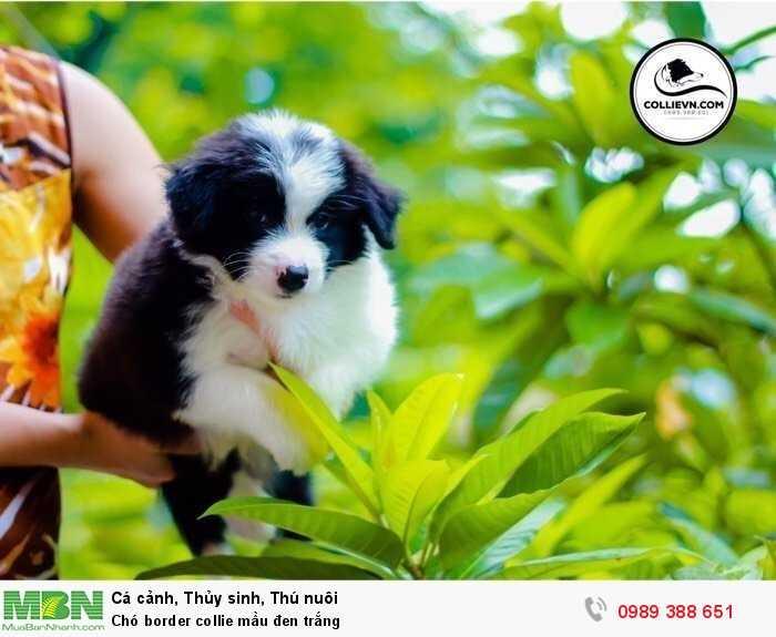 Chó border collie mầu đen trắng0