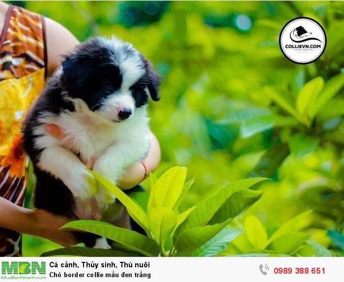 Chó border collie mầu đen trắng1