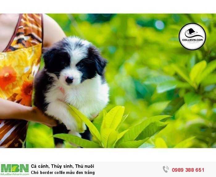 Chó border collie mầu đen trắng2