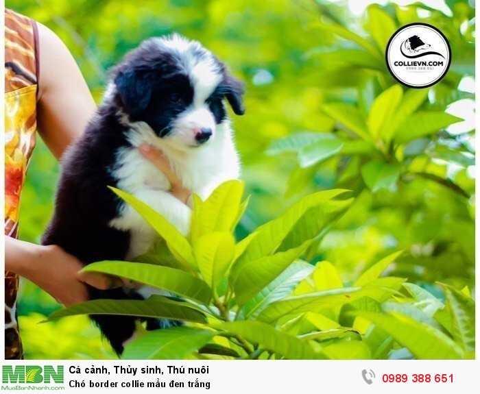 Chó border collie mầu đen trắng3