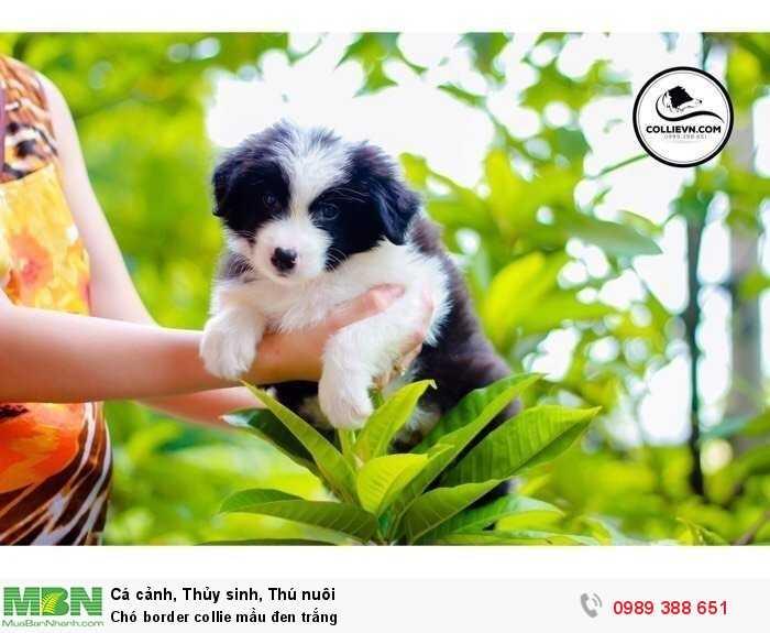Chó border collie mầu đen trắng4