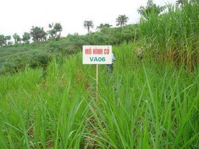 Giống cỏ VA06, hom giống VA06, cỏ ghi nê, cỏ sả, cỏ sữa, số lượng lớn, giao hàng toàn quốc0