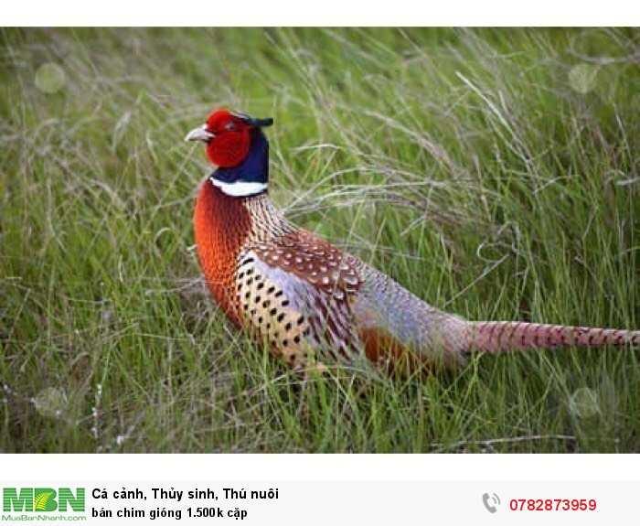 Bán chim giống 1.500k cặp2