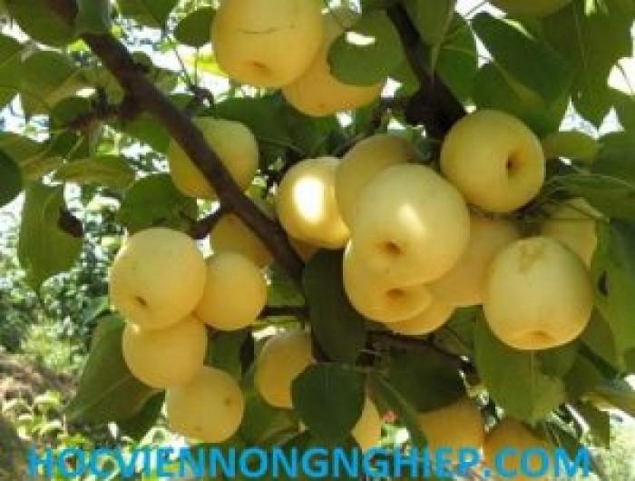 Cung cấp giống cây lê vàng - siêu ngọt1