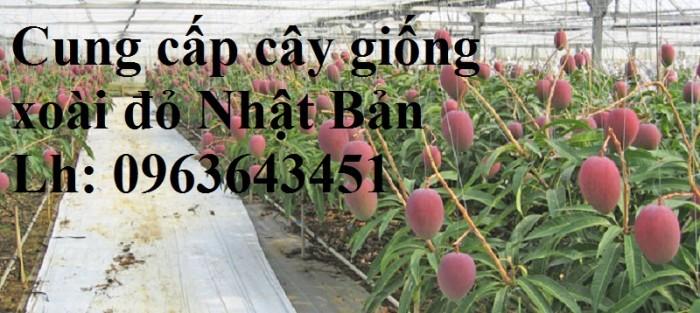 Cung cấp cây giống xoài đỏ Nhật Bản, xoài Nhật trứng mặt trời, xoài đỏ Đài Loan, xoài ruby nhật khẩu3