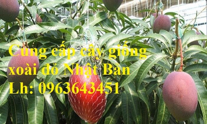Cung cấp cây giống xoài đỏ Nhật Bản, xoài Nhật trứng mặt trời, xoài đỏ Đài Loan, xoài ruby nhật khẩu6