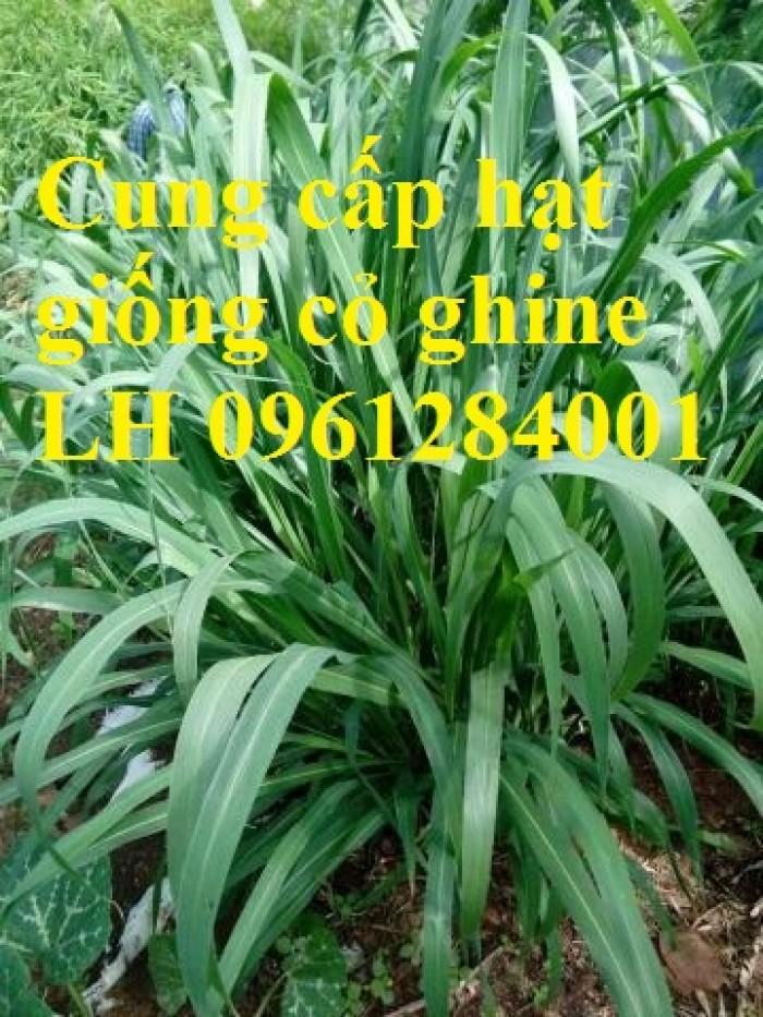 Cung cấp hạt giống cỏ ghinê, cỏ sả, cỏ chăn nuôi, số lượng lớn, giao cây toàn quốc.11