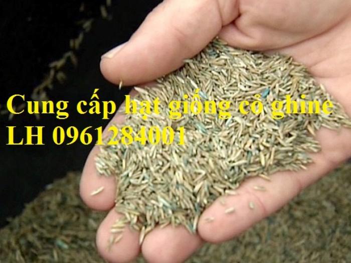 Cung cấp hạt giống cỏ ghinê, cỏ sả, cỏ chăn nuôi, số lượng lớn, giao cây toàn quốc.9