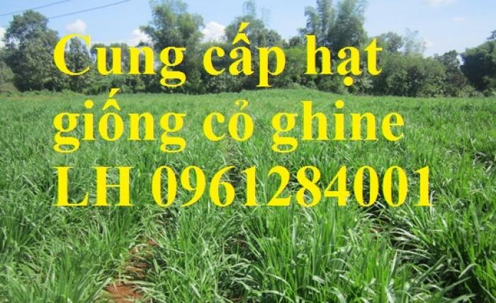 Cung cấp hạt giống cỏ ghinê, cỏ sả, cỏ chăn nuôi, số lượng lớn, giao cây toàn quốc.5