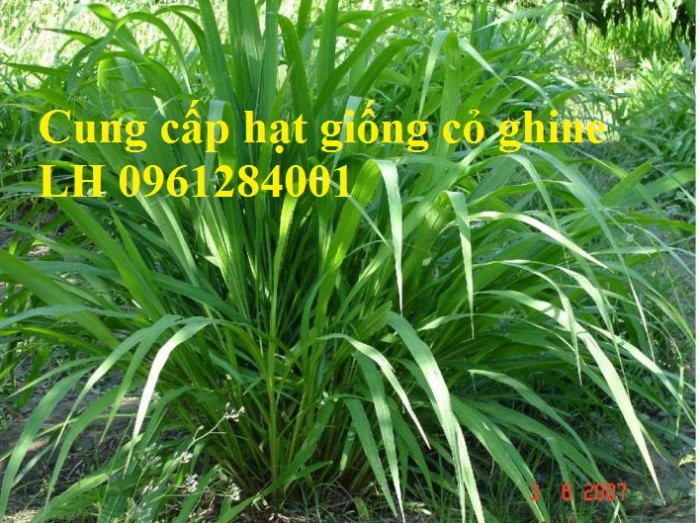 Cung cấp hạt giống cỏ ghinê, cỏ sả, cỏ chăn nuôi, số lượng lớn, giao cây toàn quốc.8