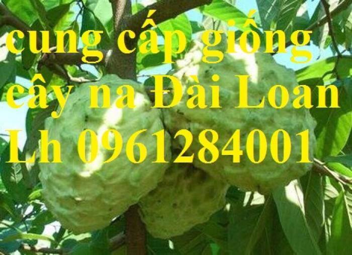 Bán cây giống na thái lan, na bở đài loan, na dai, số lượng lớn, giao cây toàn quốc.10