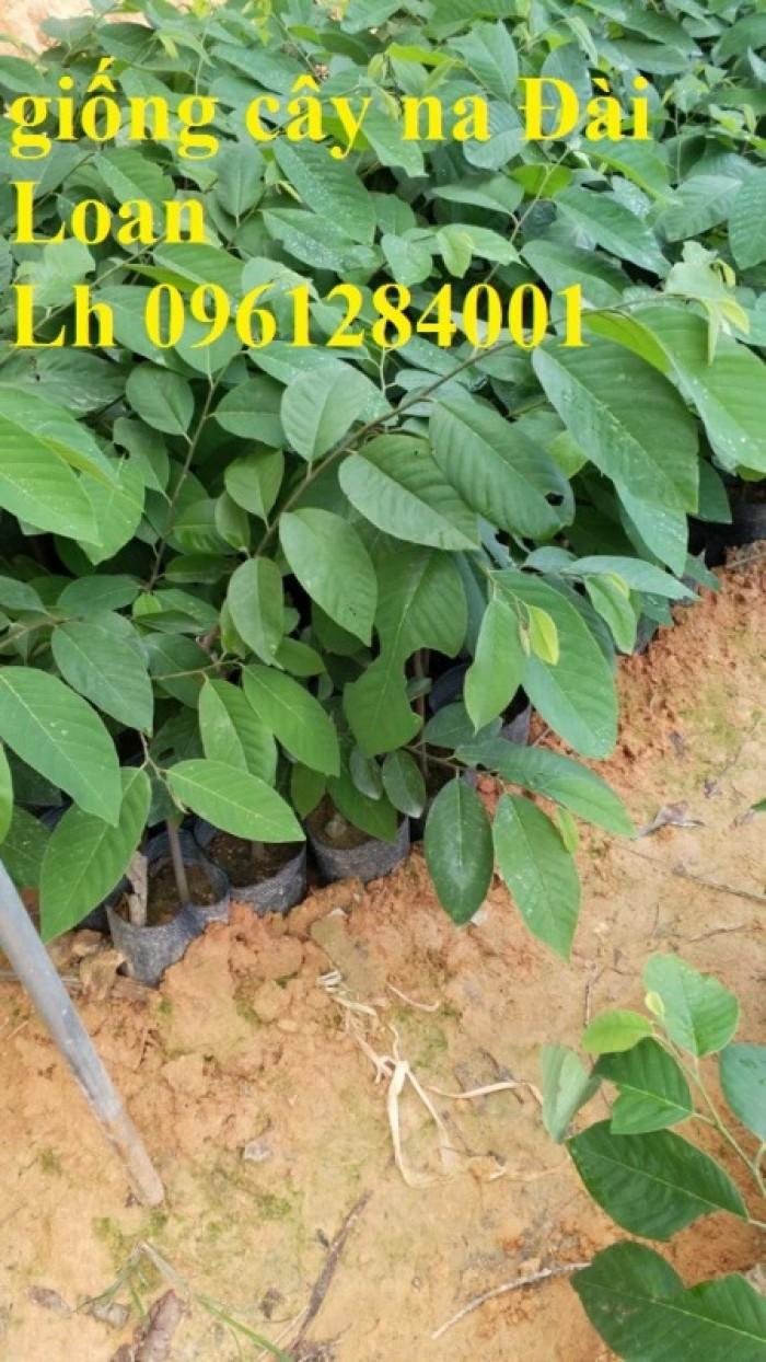 Bán cây giống na thái lan, na bở đài loan, na dai, số lượng lớn, giao cây toàn quốc.14