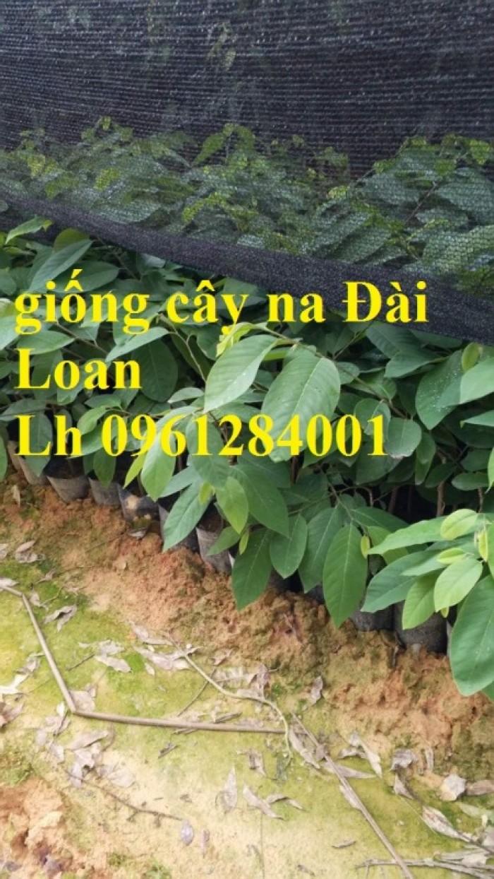 Bán cây giống na thái lan, na bở đài loan, na dai, số lượng lớn, giao cây toàn quốc.12