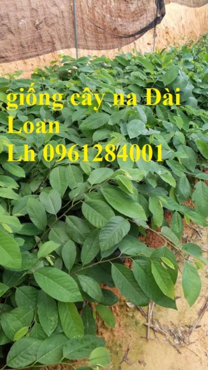 Bán cây giống na thái lan, na bở đài loan, na dai, số lượng lớn, giao cây toàn quốc.18