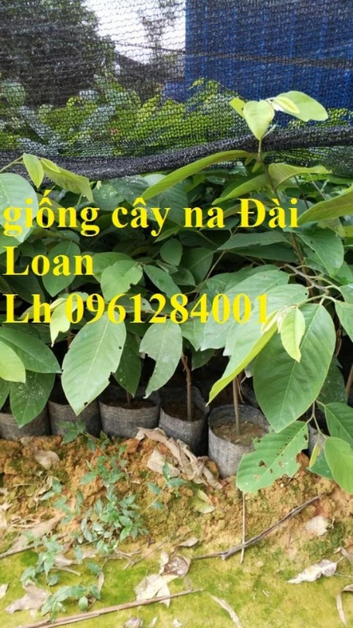 Bán cây giống na thái lan, na bở đài loan, na dai, số lượng lớn, giao cây toàn quốc.8