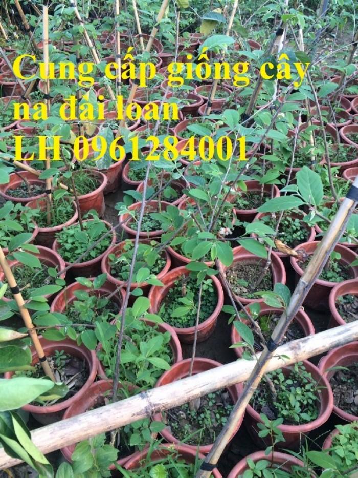 Bán cây giống na thái lan, na bở đài loan, na dai, số lượng lớn, giao cây toàn quốc.17