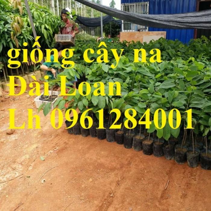 Bán cây giống na thái lan, na bở đài loan, na dai, số lượng lớn, giao cây toàn quốc.20