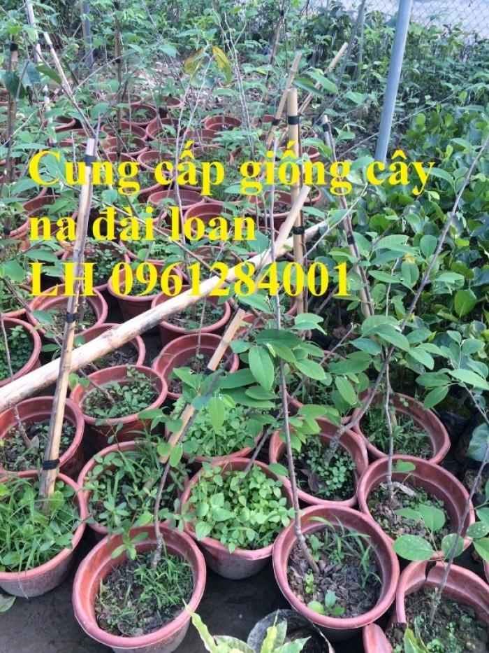 Bán cây giống na thái lan, na bở đài loan, na dai, số lượng lớn, giao cây toàn quốc.13